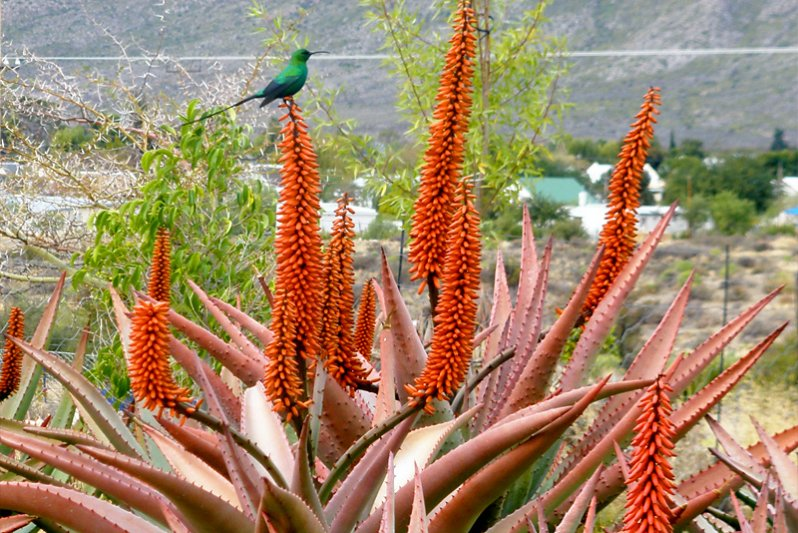 Beautiful birds and flora at Karoo View Cottages