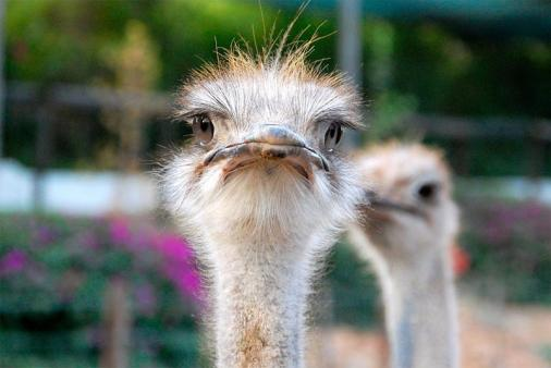 1/20 - Come and meet our free-ranging ostriches