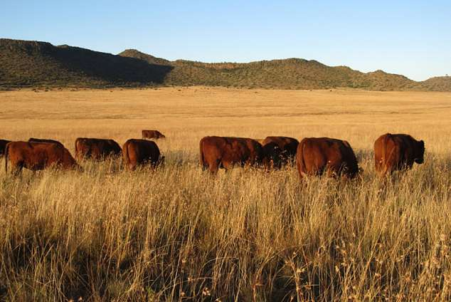 1/25 - Red Angus cattle